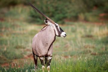 Side profile of a Gemsbok.