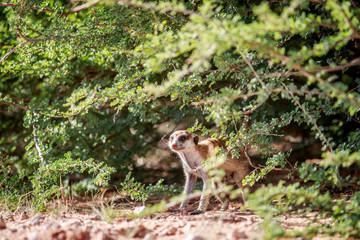 Meerkat observing from under a bush.