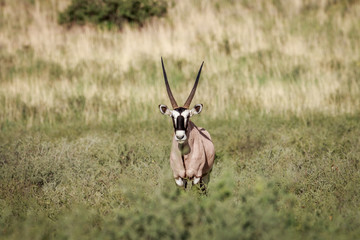 Gemsbok starring in high grass.