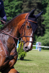 Portrait of brown sport horse during jumping show