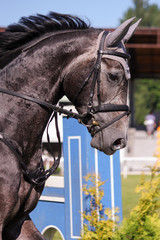 Portrait of gray sport horse during show