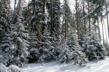 Coniferousfir trees covered snow, winter Wonderland wildlife of Northern regions. Pine and trees covered with a thick layer of freshly fallen snow in forest.