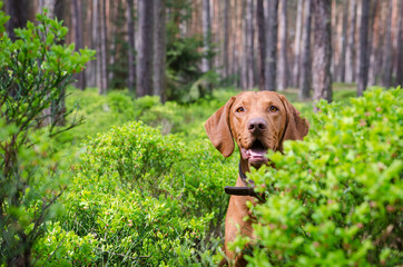 Hungarian pointer hound dog in the forrest