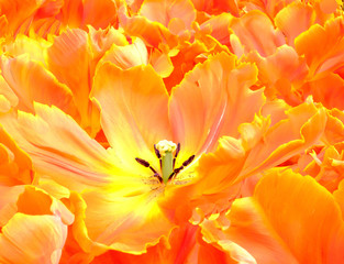 A close up of a beautiful orange and yellow tulip fully open