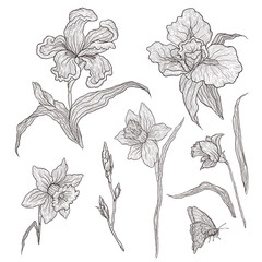 Vector illustration of graphically hand-drawn flowers. Imitation engraving. Blooming irises and daffodils