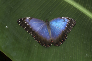 Blue Morpho butterfly perched on a leaf, close up