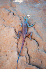 Giordania, 05/10/2013: un'agama del Sinai, la lucertola blu, un piccolo sauro della famiglia Agamidae che vive nelle aree aride del Medio Oriente