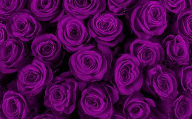 Beautiful violet roses, floral background