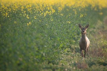 Fototapete - Wild UK Female Roe Deer