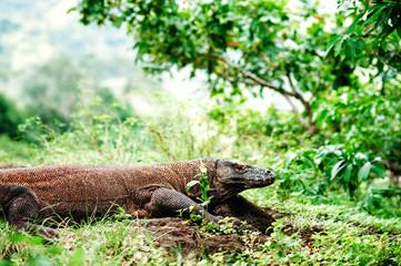 The Komodo dragon, Varanus komodoensis, the large lizard lying on a ground. Komodo National Park, Flores, Indonesia