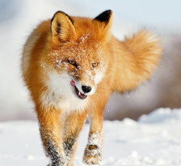 Fox walking in the snow licking it's lips