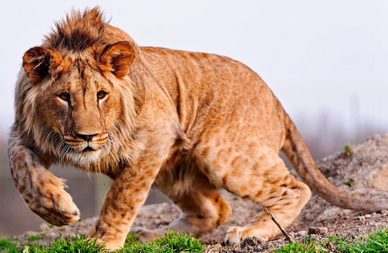 Portrait of a lion while hunting