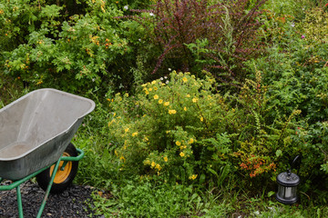 View of small garden with ornamental bushes of shrubby cinquefoil and dog roses barrow and & Search photos