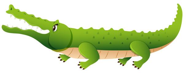 Wild alligator on white background