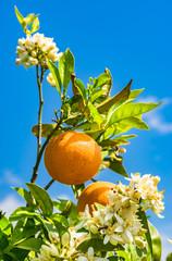 Fototapete - Orangen Früchte am Baum mit Blüten
