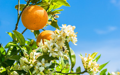 Orange tree with fresh fruits and blossoms