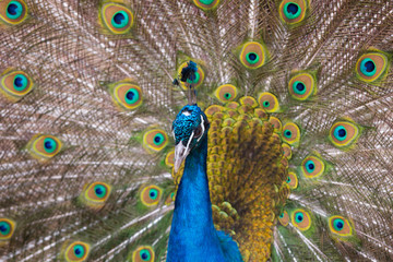 Beautiful peacock with feathers close-up