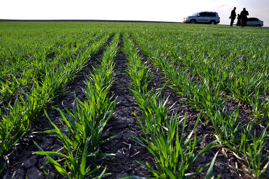 Good crops of winter wheat in the spring farm field