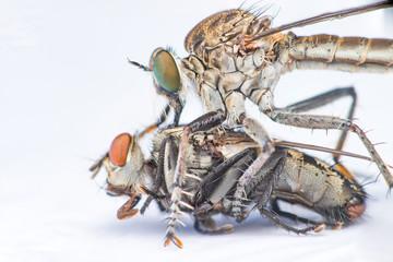 Brown Heath Robberfly (Arthropoda: Diptera: Asilidae: Machimus: Machimus cingulatus) eating a Flesh Fly (Sarcophaga crassipalpis Macquart) isolated with white background