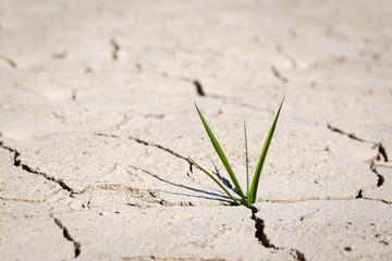 des brins d'herbe, au milieu de la terre craquelée par la sécheresse, en gros plan