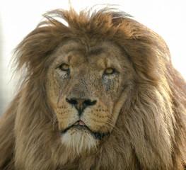 African Lion - Panthero leo