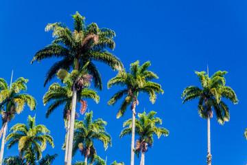 Tall palms in Botanical Garden of Rio de Janeiro, Brazil