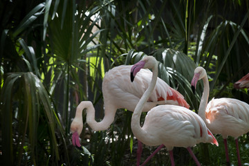 Trio of Flamingos Stroll through Tropical Foliage