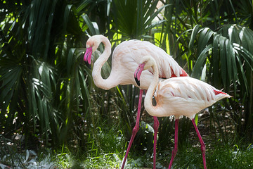 Brightly colored Flamingo Duo Glide through Tropical Foliage
