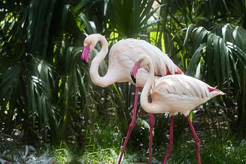 Brightly colored Flamingo Duo Glide through Tropical Foliage