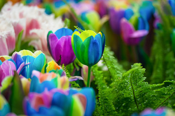 Multicolored rainbow tulips on a blurred background