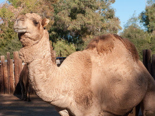 Dromedary Camel, native of North Africa and Middle East