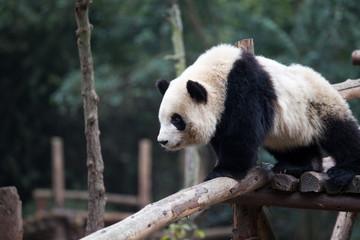 Fotobehang Panda panda in park