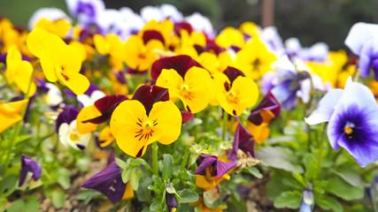 Pansies flower OLYMPUS DIGITAL CAMERA