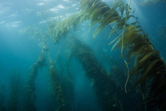 Underwater view of kelp forest in clear water