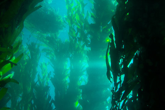 Sunburst shooting through the water in a dense kelp forest