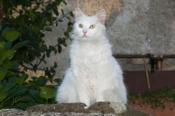 Ritratto di un gatto bianco dal pelo lungo in un vicolo di Artena