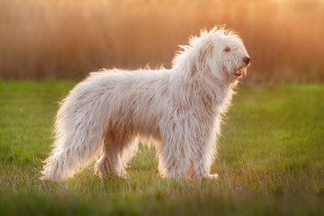Beautiful fluffy south russian shepherd dog exterior at sunset