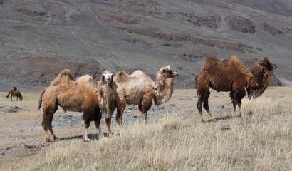 Herd of Bactrian