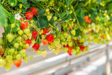 Ripening strawberries grown without soil in modern Dutch horticulture business