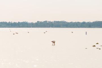 Pink flamingo standing in lake.