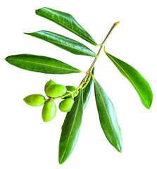 Olive branch with leaves and fruit isolated on white background