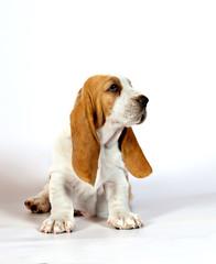 Basset hound puppy sits on a white background