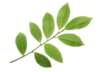 branch of laurel  isolated