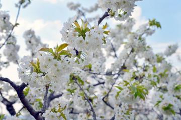 Ciliegio in primavera