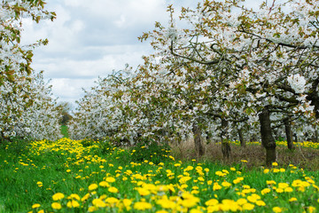 Beautiful cherry orchard with white flowers, trees in a row, Sussex, England, selective focus