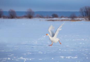 Three white goose run through the snow with their wings open