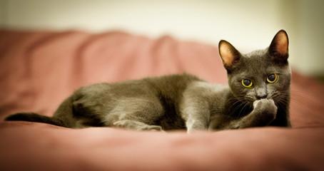 Russian blue cute cat