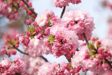Wall Mural - 八重桜