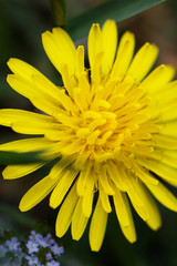 Stamens of yellow dandelion. Close up.