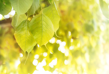 Bodhi leaves background with sun effect also known as Pipal leaves and Bo leaves)